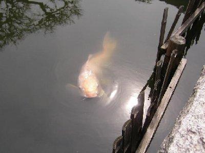 旧浜離宮池の鯉