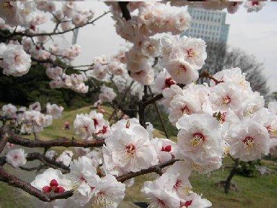 白梅が綺麗