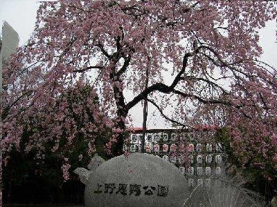 上野交番トナリの桜