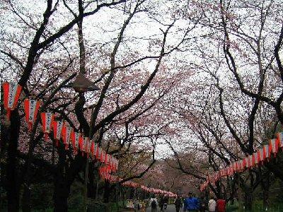 少し早い上野桜