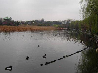 不忍池の野鳥