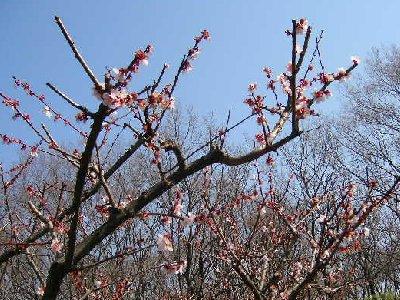 小宮公園でまだ梅が