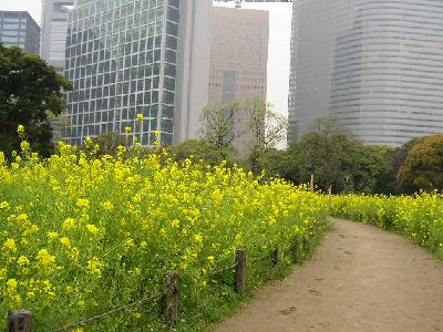 菜の花の細道