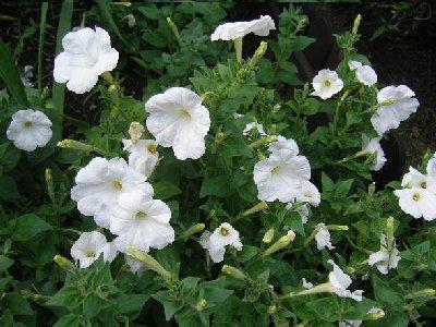庭園でひそかに白い花