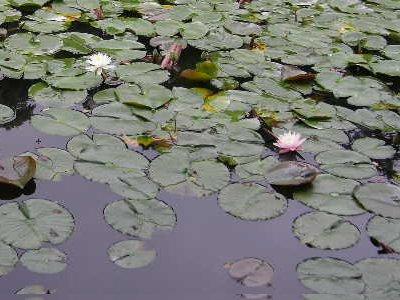 三宝寺池でスイレン