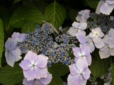 石神井の紫陽花