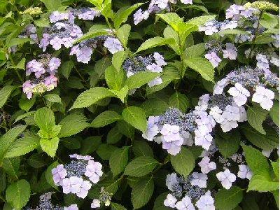 石神井公園の紫陽花