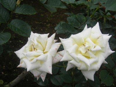キャロリーヌドウ モナコのバラ