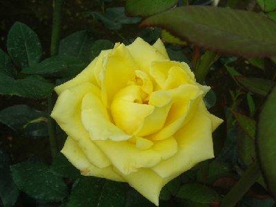 ヘルムートシュミトのバラ