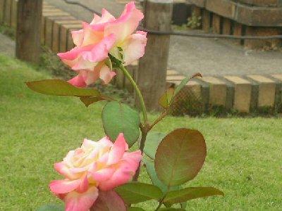 ダイアナプリンセスのバラ