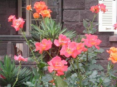 プリンセス ミチコのバラ