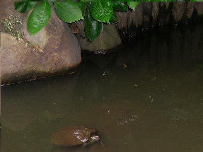 池で亀さん