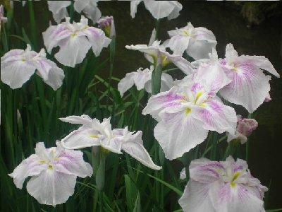 白の花菖蒲